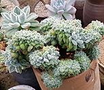 금사황철화 대품|Echeveria setosa Hybrid