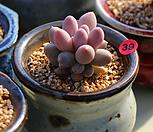 핑크 베이비핑거|Pachyphytum Machucae (baby finger)