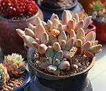 묵은 크라우쿰 자연군생|Pachyphytum compactum var. glaucum