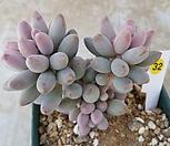 베이비핑거32|Pachyphytum Machucae (baby finger)