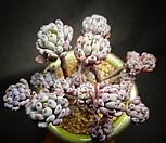 블루빈스 Graptopetalum pachyphyllum Bluebean