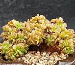 에오니옴철화|Aeonium canariense