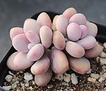 아메치스 자연군생 A305|Graptopetalum amethystinum