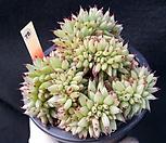깨알사치철화|Echeveria agavoides f.cristata Echeveria