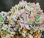 원종기간티아철화(묵은아이)|Greenovia diplocycla var.gigantea