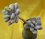 오비포럼 39|Pachyphytum oviferum
