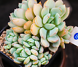 홍령|Graptoveria A GrimmOne