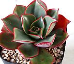 롱기시마브라키안타 (실생) 1698|Echeveria longissima