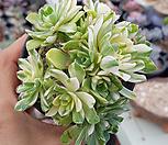 애연금| Aeonium domesticum fa Variegata