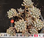 블루빈스(122-62) Graptopetalum pachyphyllum Bluebean