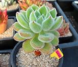 금사황1-1238|Echeveria setosa Hybrid