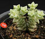 희성금(122-98)|Crassula Rupestris variegata