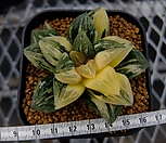 타이거피그금 특대묘 (Haworthia Tiger-Pyg variegated)|