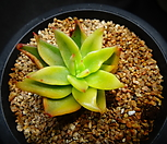 긴잎적성금(뿌리 살짝 내림)|Echeveria agavoides Akaihosi