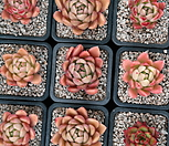 워터릴리(랜덤)|Echeveria Water Lily