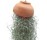 수염틸란드시아(토분걸이)|