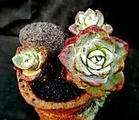환엽블러쳐스 3두군생 최상급 (잎장 뚜껍고 뚱띠예요)-99|Dudleya farinosa