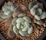 오렌지먼로 3354|Echeveria Monroe(Orange)