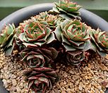 환엽롱기시마 40두이상한몸군생 2-264|Echeveria longissima