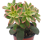 일월금(카라솔)|Aeonium decorum f variegata