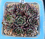슈퍼써클|Echeveria Super Circle