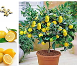 [재입고]상큼한 노란 빛깔 레몬트리 5년생/올해 열매 열리는 오리지널 자가수정 레몬나무/화분째 배송|