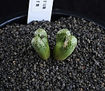XP1147-Conophytum turrigerum small form 트리게룸 2두|