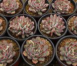 모란[랜덤] Echeveria cv Beniothine