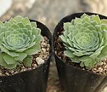 희면경[랜덤] Aeonium tabuliforme hyb