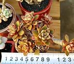 아즈타트랜시스 7두자연군생 목대-74|Echeveria longissima var aztatlensis