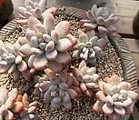 후레뉴대품군생|Pachyphtum cv Frevel