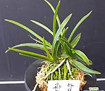 관암/석곡/화분/난/공기정화식물/분재/수반/꽃/옹기/나라아트|