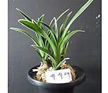 서석대 1분/석곡/화분/난/공기정화식물/분재/수반/꽃/옹기/나라아트|