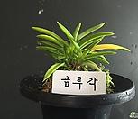 금루각/난/동양란/부귀란/풍란/공기정화식물/나라아트|