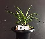 설산(대)/난/나라아트/동양란/부귀란/풍란/공기정화식물|