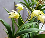 귀한 아이보리색  꽃대3-4대긴기아난|Echeveria J.C.Van Keppel