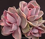 웨스트레인보우(적심)|Echeveria rainbow