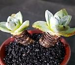 환엽블러쳐스 2두군생-97|Dudleya farinosa