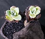 환엽블러쳐스 2두군생 목대-8 (특가!)|Dudleya farinosa