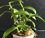 경홍/석곡/나라아트/난/동양란/부귀란/풍란/공기정화식물|