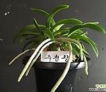 주천왕(대)/난/나라아트/동양란/부귀란/풍란/공기정화식물|
