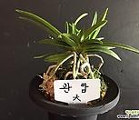 관암(대)/난/동양란/나라아트/부귀란/풍란/공기정화식물|