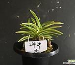 부악(대)/난/나라아트/동양란/부귀란/풍란/공기정화식물|