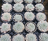 플뢰르블랑코외두-랜덤발송(2월)|Echeveria Fleur Blanc