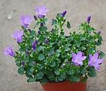 캄파눌라(소품)/캄파룰라/작은 방울꽃 모양/꽃말...감사의 마음|