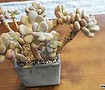 월미인|Pachyphytum oviferum Tsukibijin