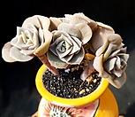 러블리로즈 5두군생-55|Lovely Rose