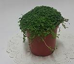 천사의눈물 (s) 솔레이롤리아 Soleirolia /공기정화식물/콩란/고무나무/콩고/야자/스킨/스파트/아이비/별아이비/공기정화 식물|