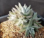 화이트그리니(목대튼튼) Dudleya White gnoma(White greenii / White sprite)