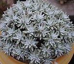 화이트그리니군생한몸(왕대품)|Dudleya White gnoma(White greenii / White sprite)